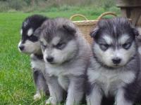 No 2013.gada 1.janvāra suņus audzēt saskaņā ar MK noteikumiem Nr.266  varēs tikai persona,kurai būs apliecinājums (sertifikāts) par šādu kursu noklausīšanos.
